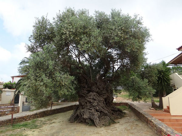 Olive production process - Gaia Olives